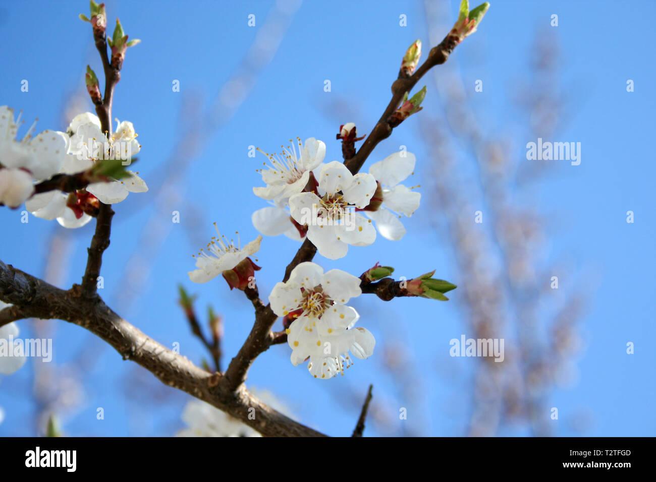 Foto Di Alberi Da Frutto blooming apricot tree con impollinatori miele delle api