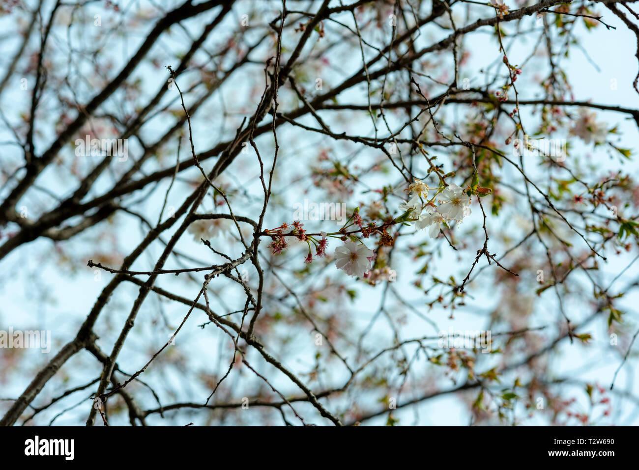 Rami pieni di fiori sbocciato in primavera onirica sky in primavera Immagini Stock
