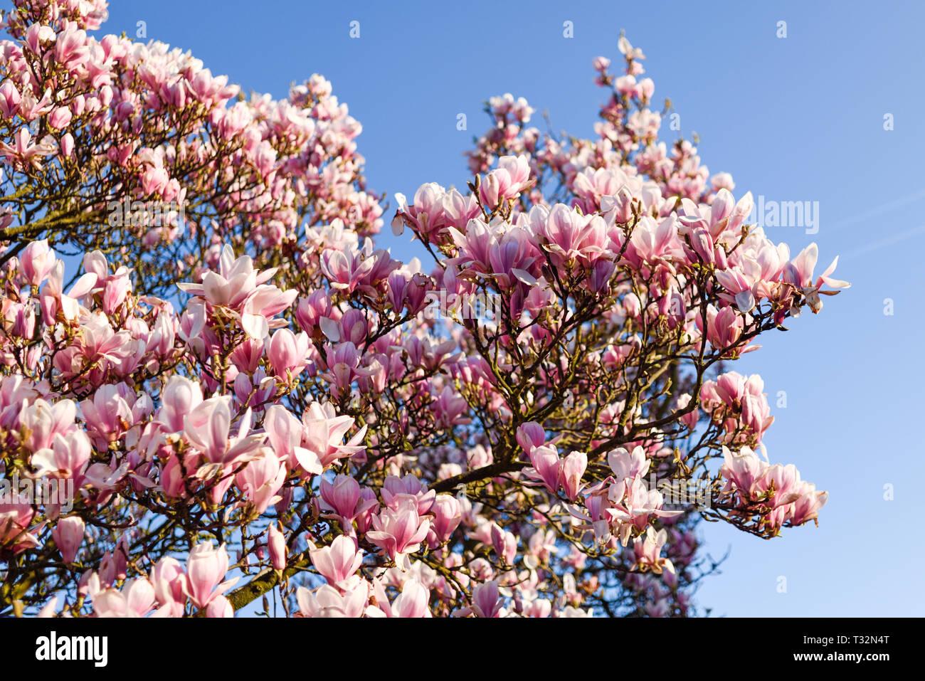 Fioritura rosa albero di magnolia in primavera. Foto Stock