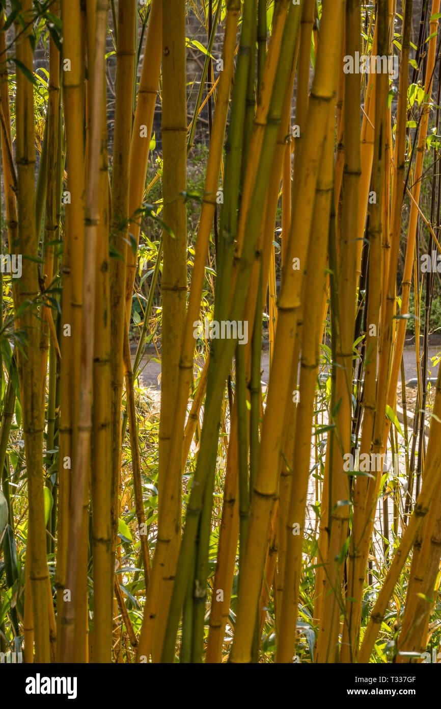 Close up di germogli di bambù e foglie in bright boschetto soleggiato con sfondo Immagini Stock