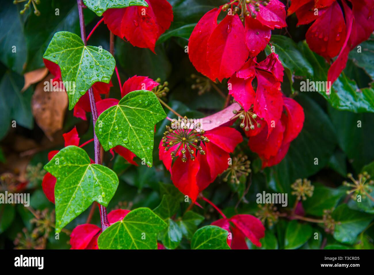 Il verde e il rosso delle foglie. Immagini Stock