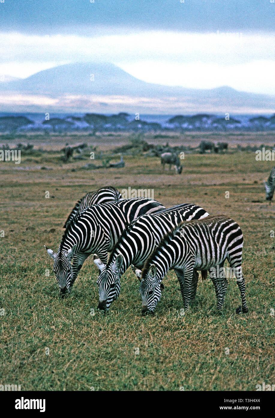Amboseli Nat. Parco. La Burchell o comuni o zebra (Equus burchelli) sulle pianure di Amboseli. Il Monte Kilimanjaro in background.Kenya. Immagini Stock