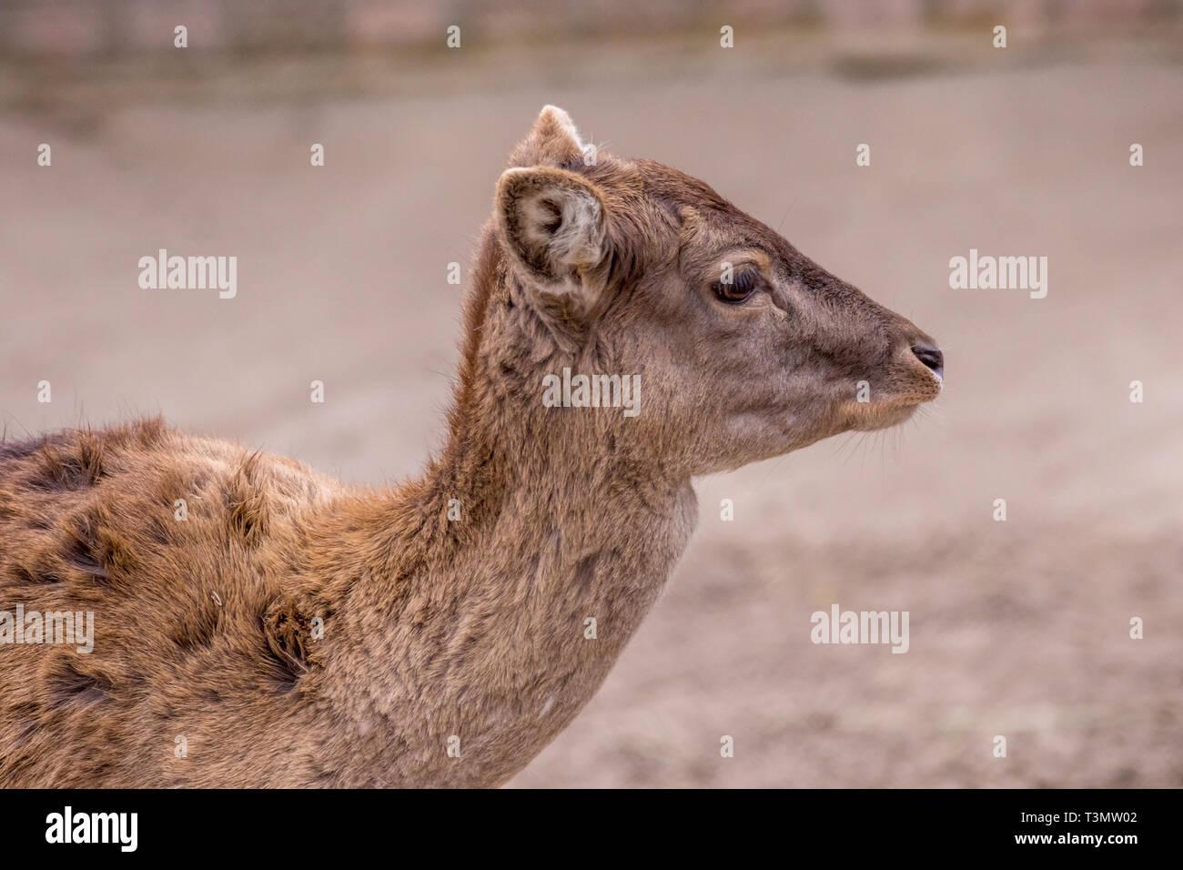 Immagine artiodactic timidi animali giovani caprioli ritratto Immagini Stock
