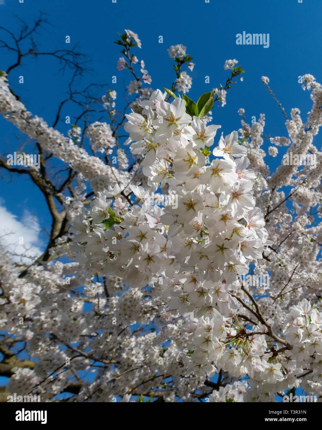 Fiori Bianchi Albero.Yoshino Albero Ciliegio Fiorisce Su Prunus Yedoensis X Primavera