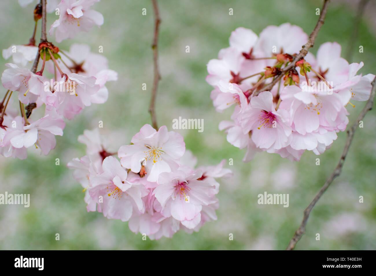 Ciliegio Fiori Bianchi O Rosa.Alberi Di Ciliegio Pennsylvania Immagini Alberi Di Ciliegio