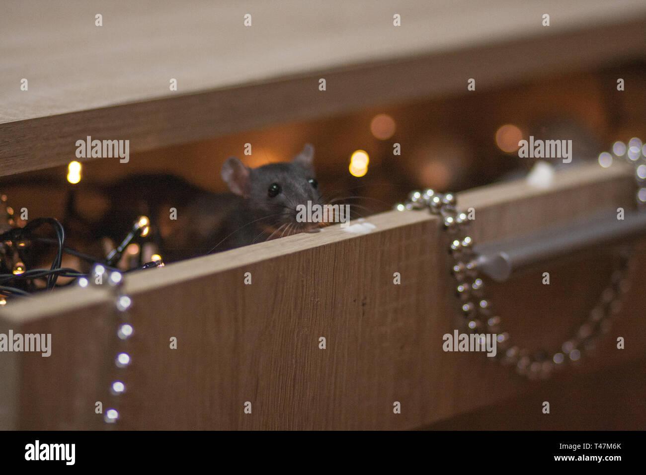 2020 Calendario Cinese.Il Natale E Il Nuovo Anno Di Vacanza Nero Rat In Una