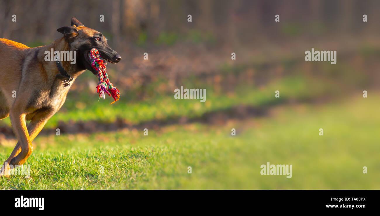 Uno belga Malinois cane corre rapidamente con corda giocattolo in bocca al di fuori a dog park con copia spazio. Immagini Stock