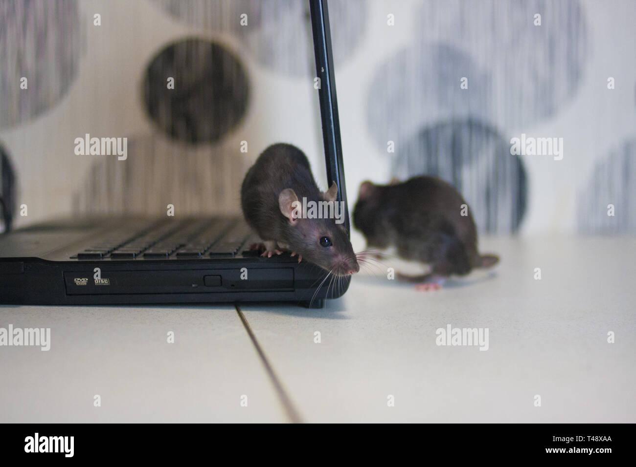 Calendario Cinese 2020.Attacco Hacker I Ratti Sono Grigio Sul Computer Simbolo