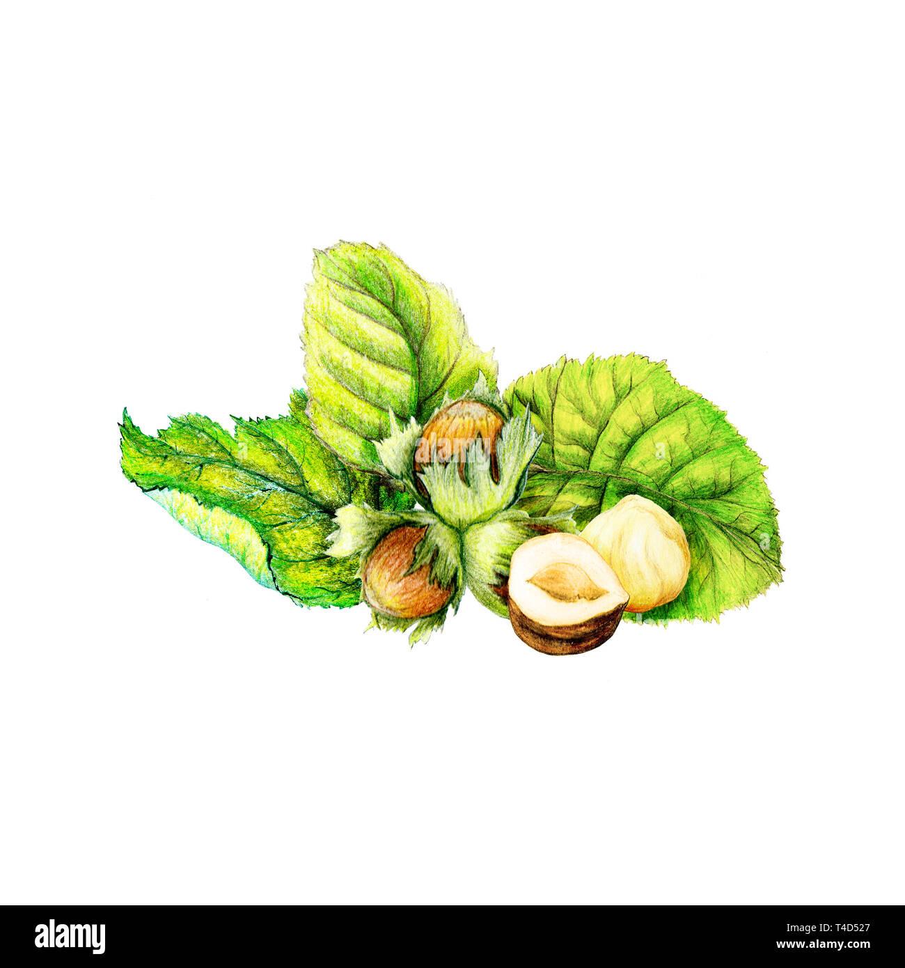 Botaniche illustrazione isolato di acquerelli di nocciole Immagini Stock