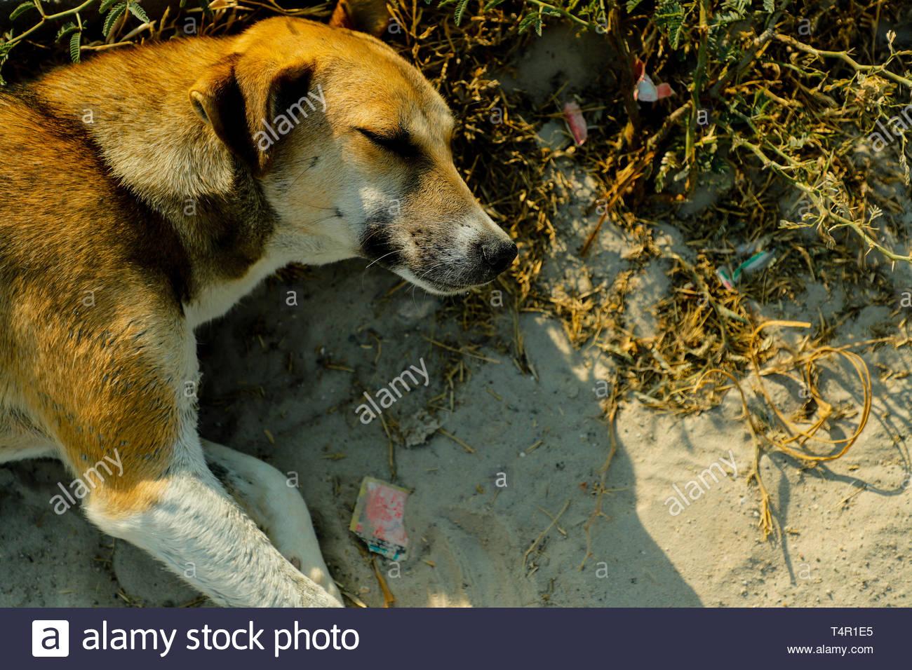 Breve marrone cane rivestito giacente sull'erba Immagini Stock