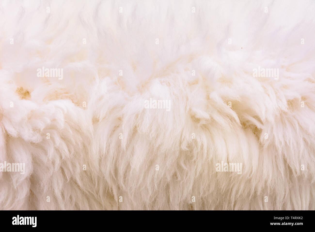 Vello Di Pecora.Immagine Di Sfondo Di Un Pelo Morbido Tappeto Bianco Lana