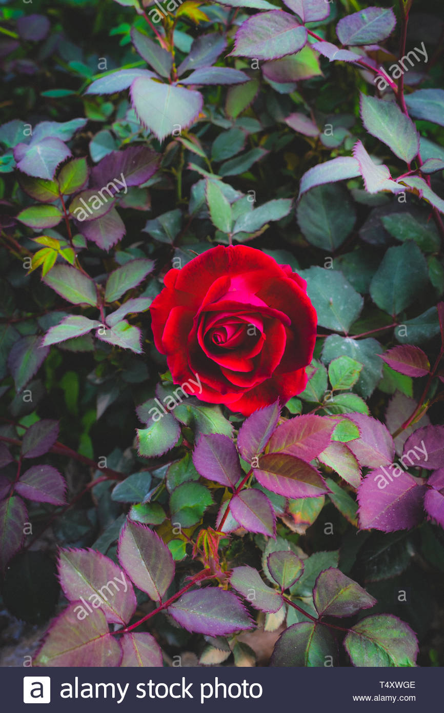 Centrato una rosa rossa sulla bussola Immagini Stock