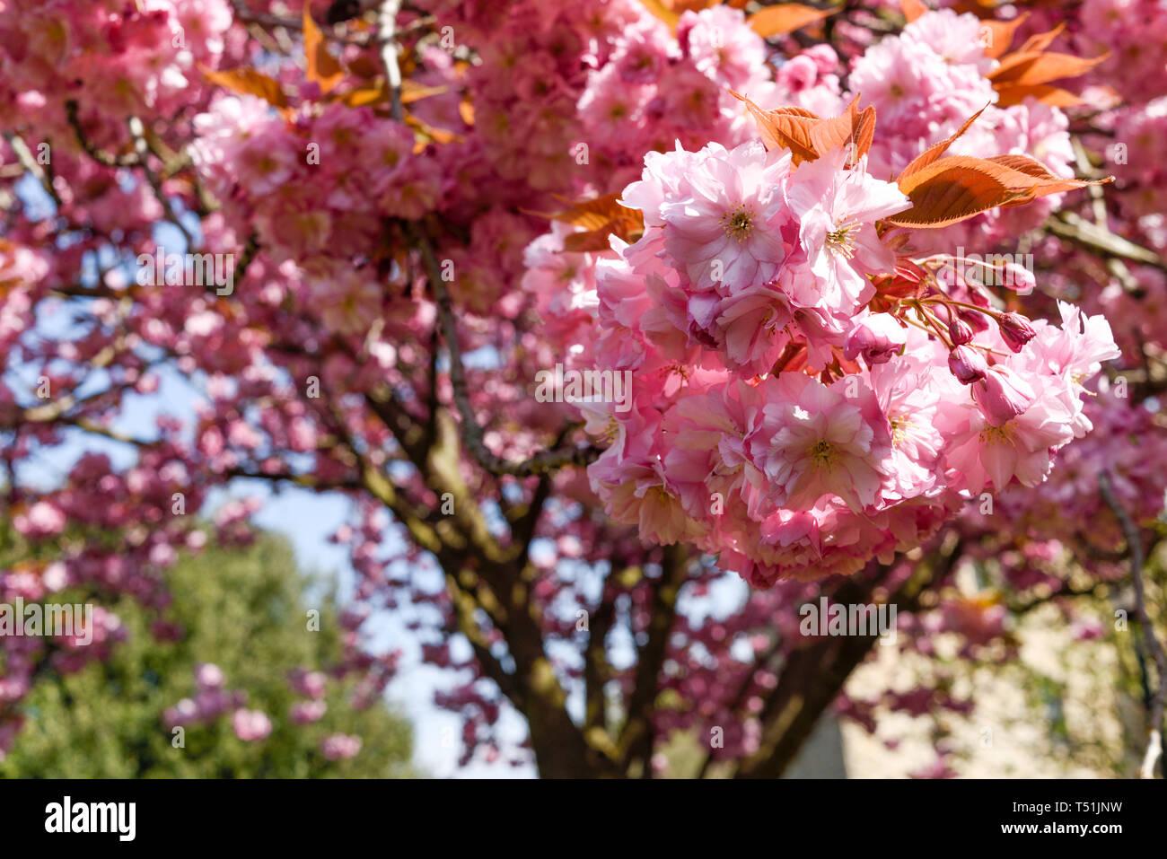 Rosa Fiori di Ciliegio albero in primavera. Foto Stock