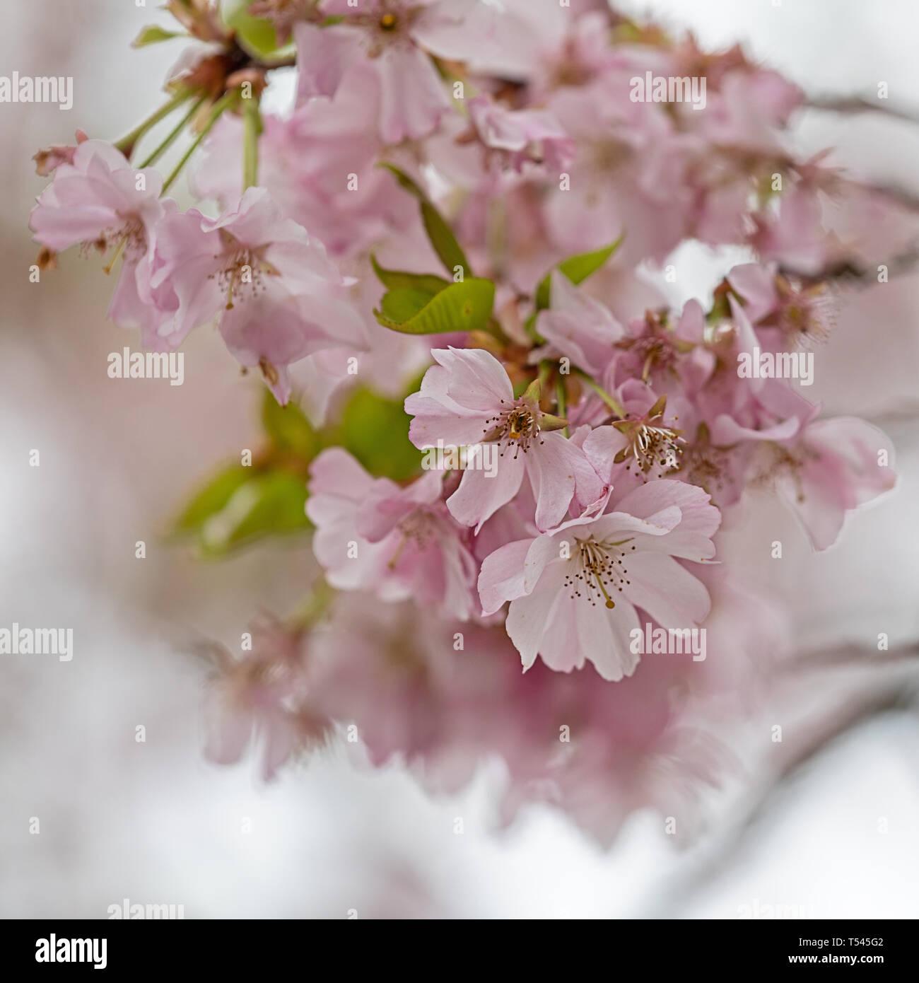 Onirica fioriture primaverili tutto Immagini Stock