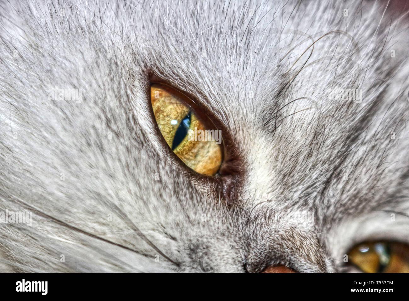 Gatto Domestico Persiano Di Cincillà Con Occhi Verdi Immagini