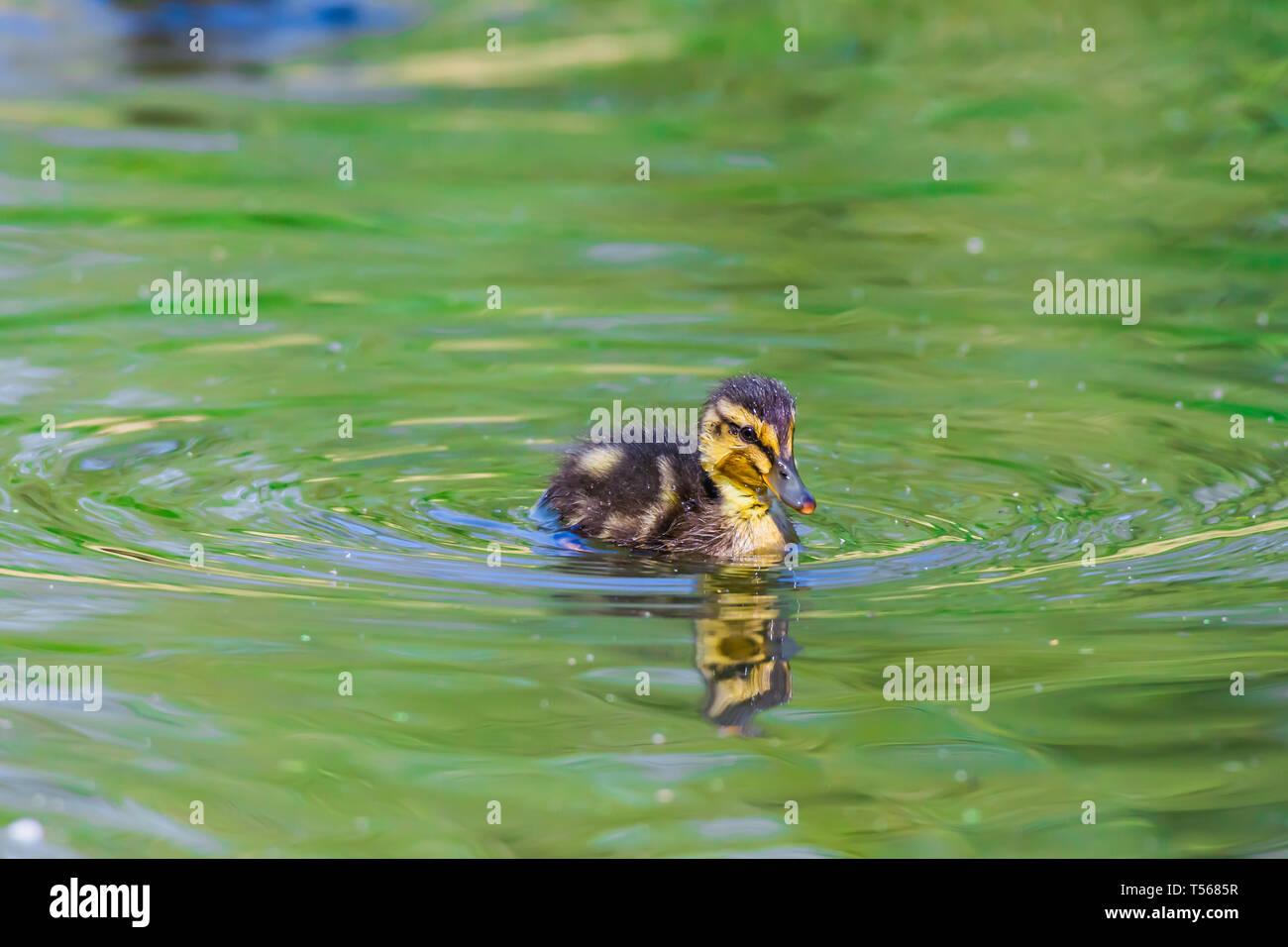 Un adorabile e soffici anatroccolo nuoto nel lago con acqua verde.British fauna selvatica in primavera.Concetto di morbidezza, perfetto Easter card. Aprile. Immagini Stock