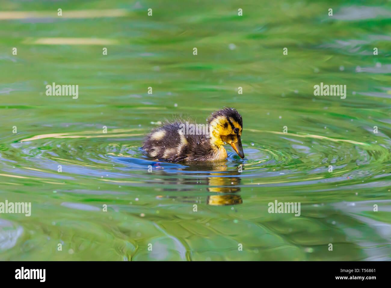 Un adorabile e soffici anatroccolo nuoto nel lago con acqua verde.British wildlife in primavera.Concetto di morbidezza, perfetto Easter card, Aprile calendario. Immagini Stock