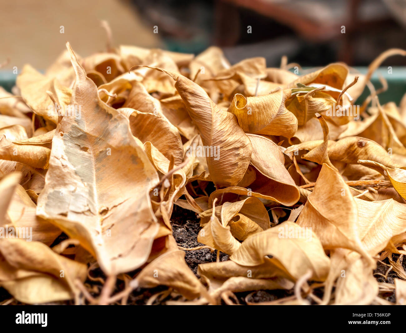Ficus Benjamin Perde Foglie primo piano di secco caduto foglie gialle di ficus benjamina