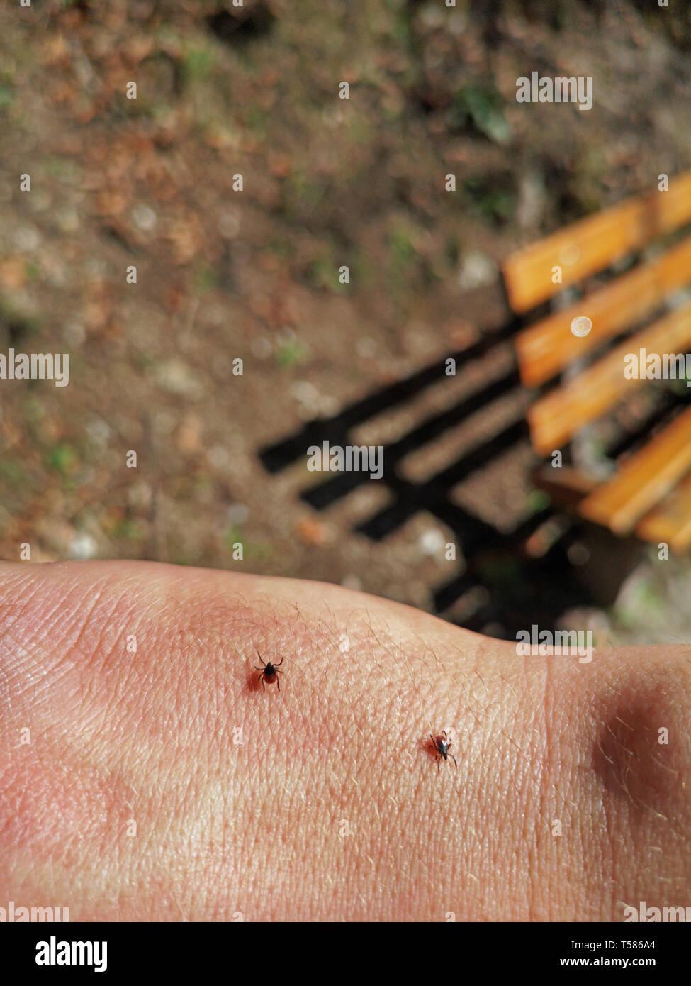 Due tick camminando sulla pelle umana nella foresta durante le escursioni con una panca su sfondo Immagini Stock