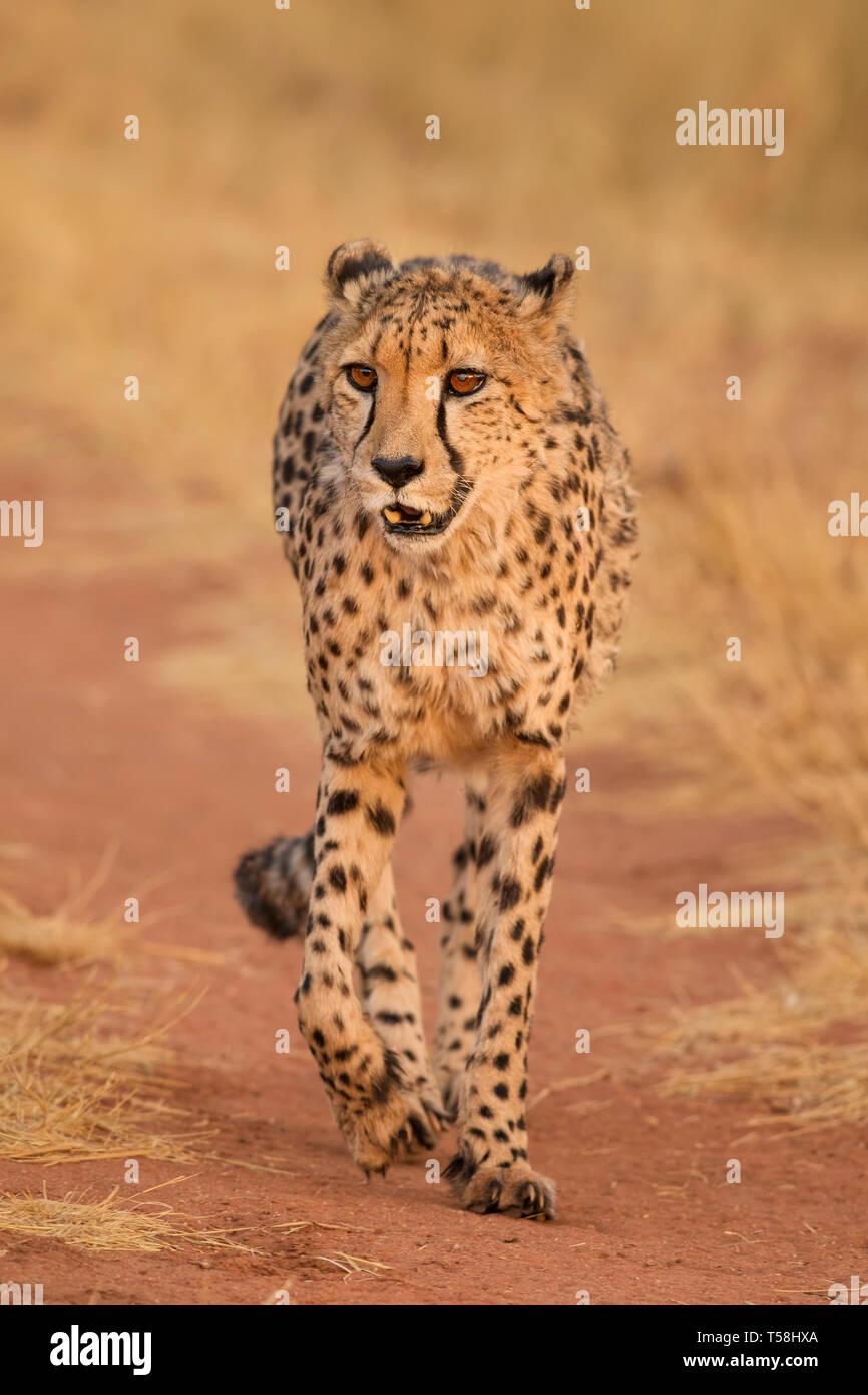 Cheetah - Acinonyx jubatus, bella carnivori da cespugli di africani e savane, Namibia. Foto Stock