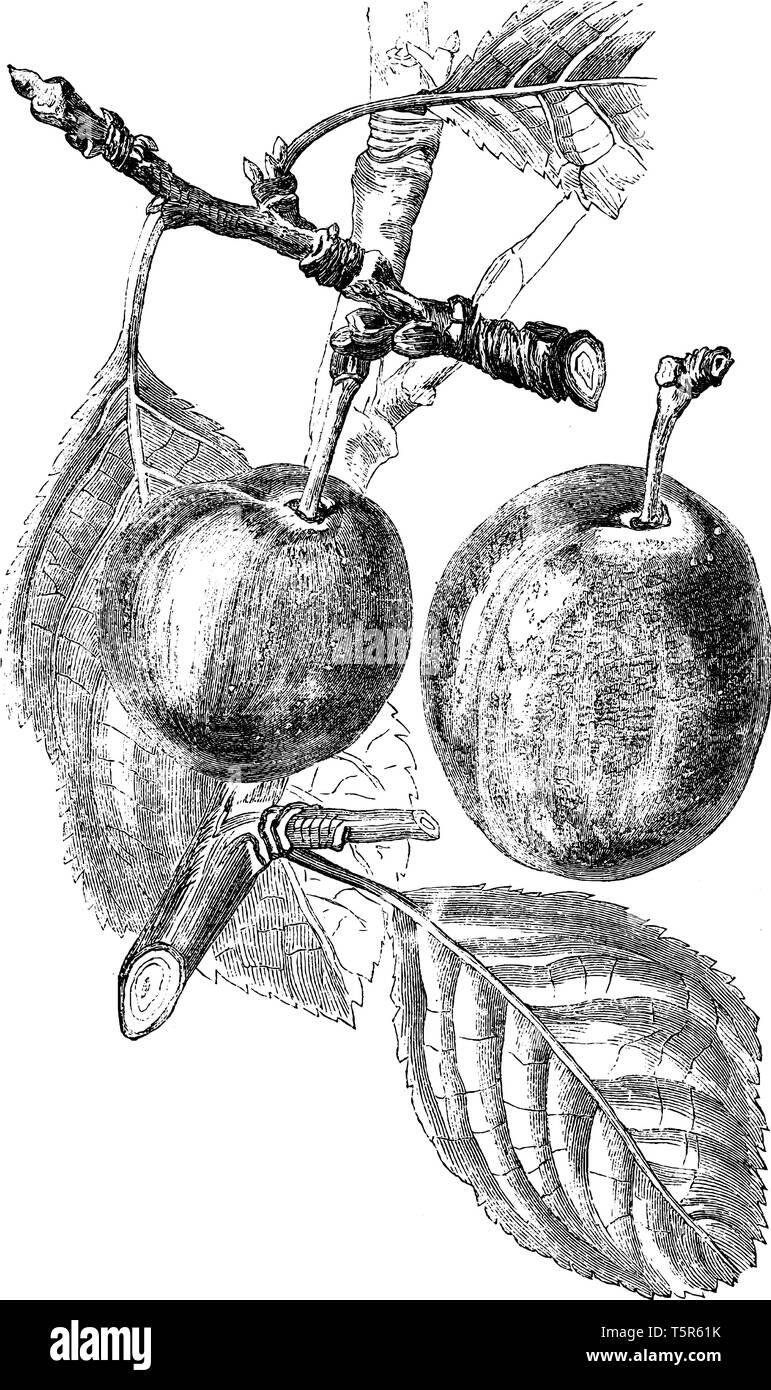 Una foto che mostra il ramo di porpora Gage susino con il suo frutto, vintage disegno della linea di incisione o illustrazione. Immagini Stock