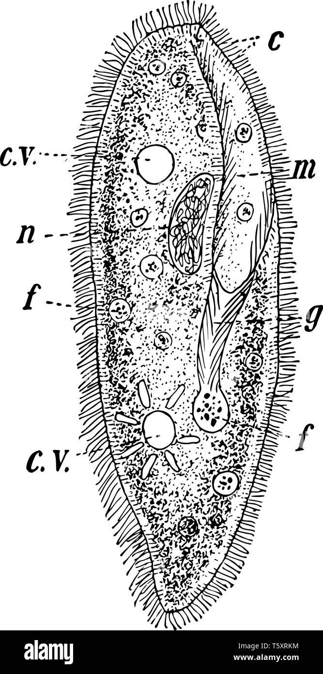 Paramecia noto anche come Lady pantofole che sono un gruppo di unicellulari protozoi ciliati, vintage disegno della linea di incisione o illustrazione. Immagini Stock
