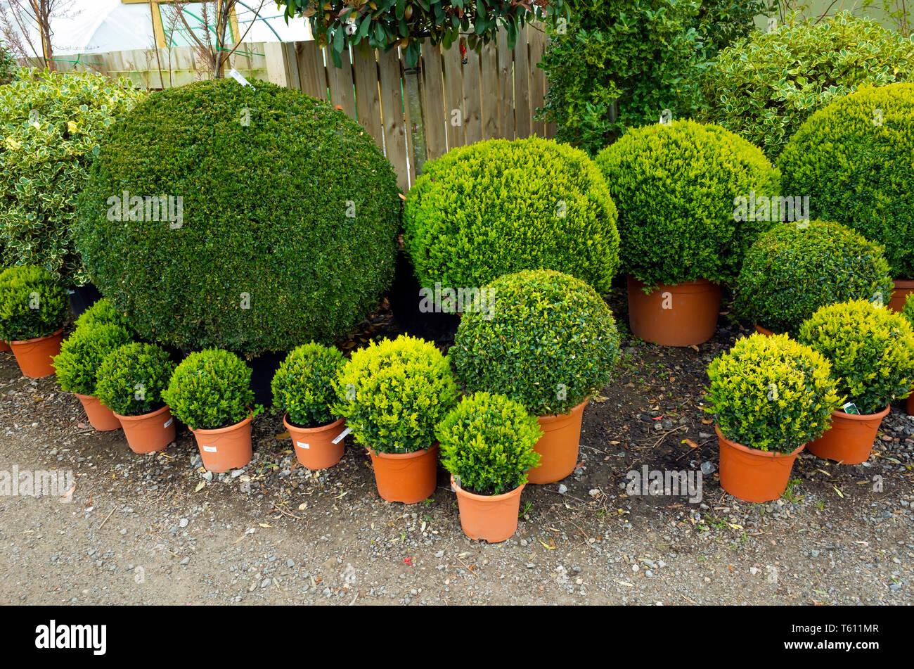 Come Potare A Palla palla buxus immagini & palla buxus fotos stock - alamy