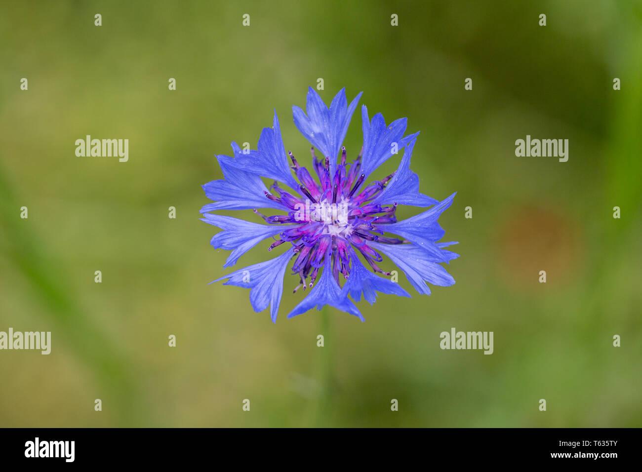 Close up centaurea cyanus, meglio noto come Bachelor's pulsante o fiordaliso. Fiore in fiore con blu e viola petali. Immagini Stock