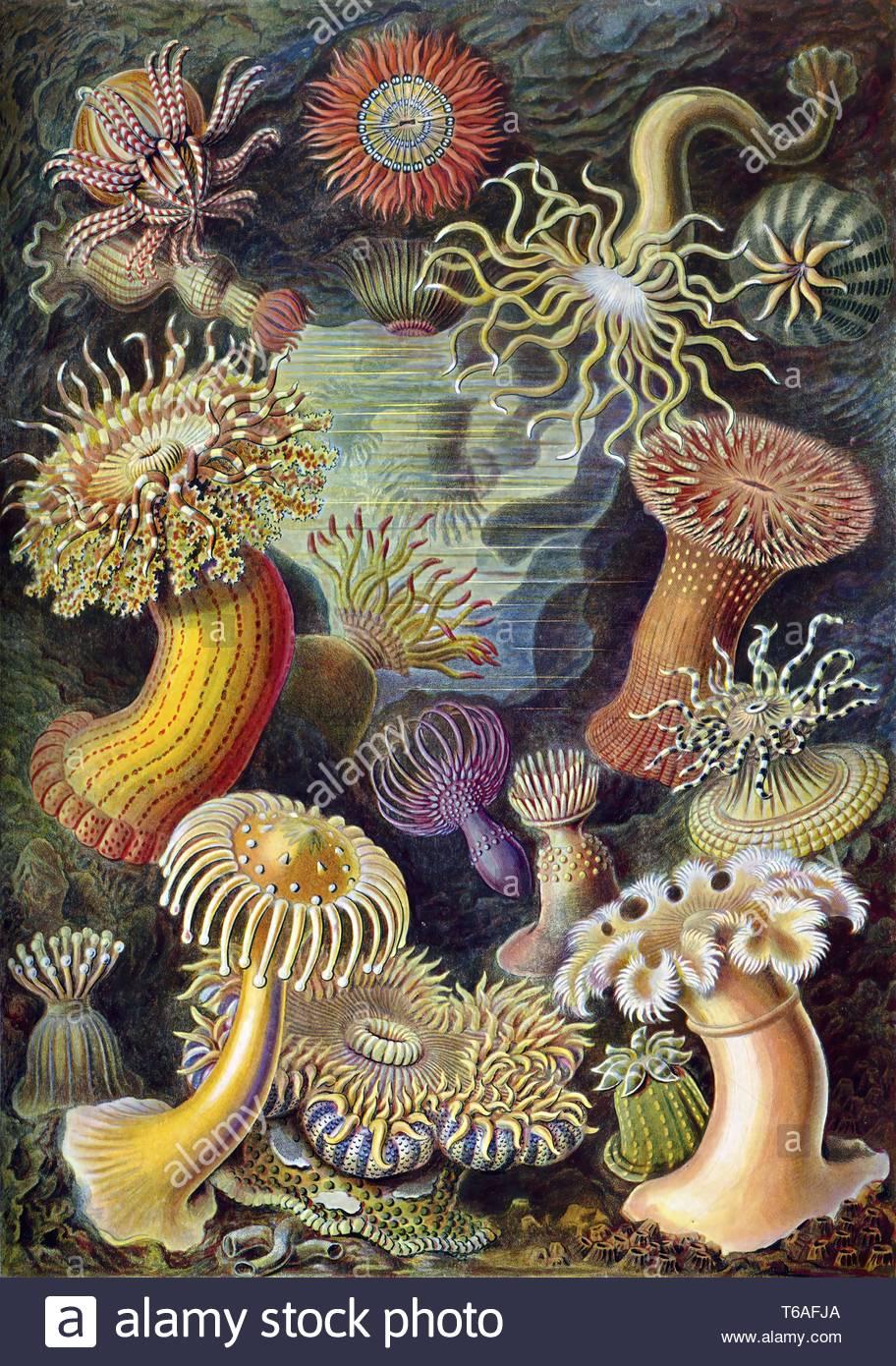 Ernst Haeckel-Illustration di Actiniae Immagini Stock