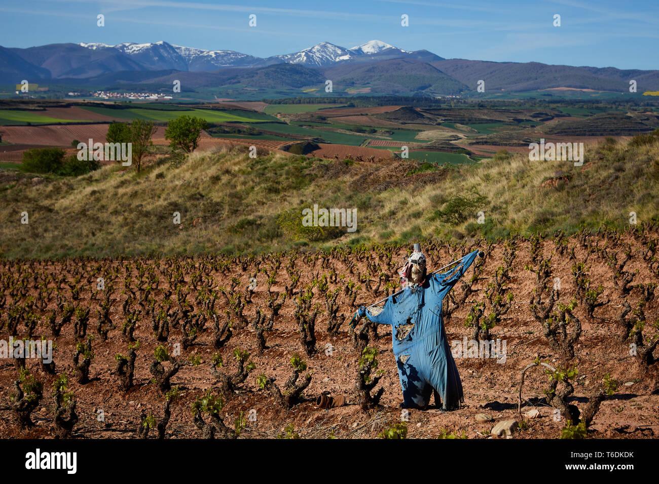 30/4/19 spaventapasseri in mezzo alle foglie oung riprese in tempranillo vigneti vicino a Azofra (La Rioja), Spagna. Foto di James Sturcke | sturcke.org Immagini Stock