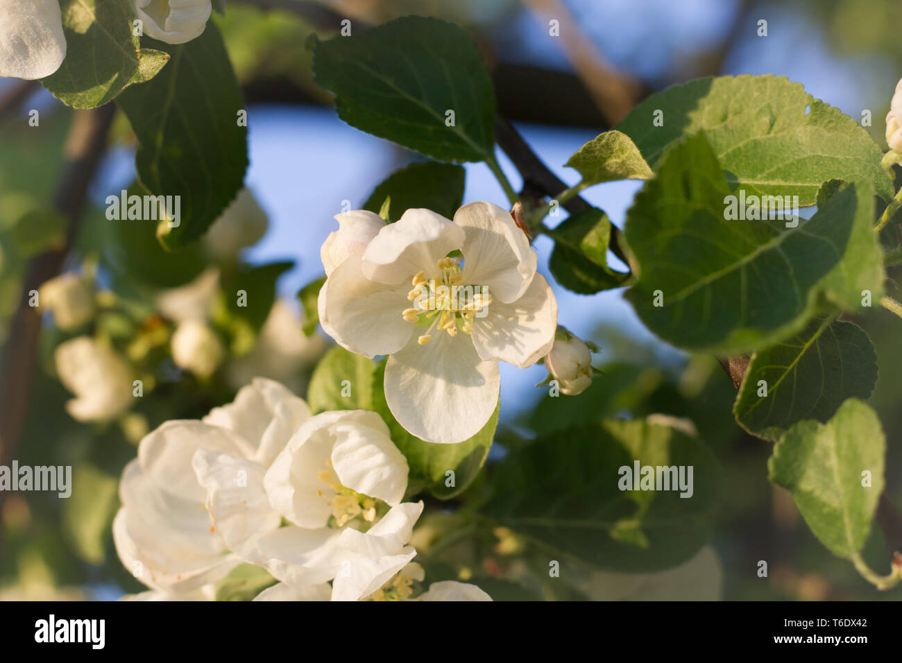 Fiori Bianchi Frutto.Albero Da Frutto In Fiore Immagini Albero Da Frutto In Fiore