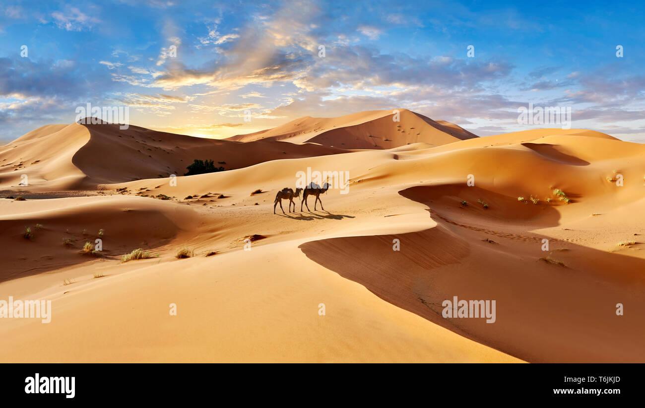 Cammelli fra il Sahara dune di sabbia di Erg Chebbi Marocco Foto Stock