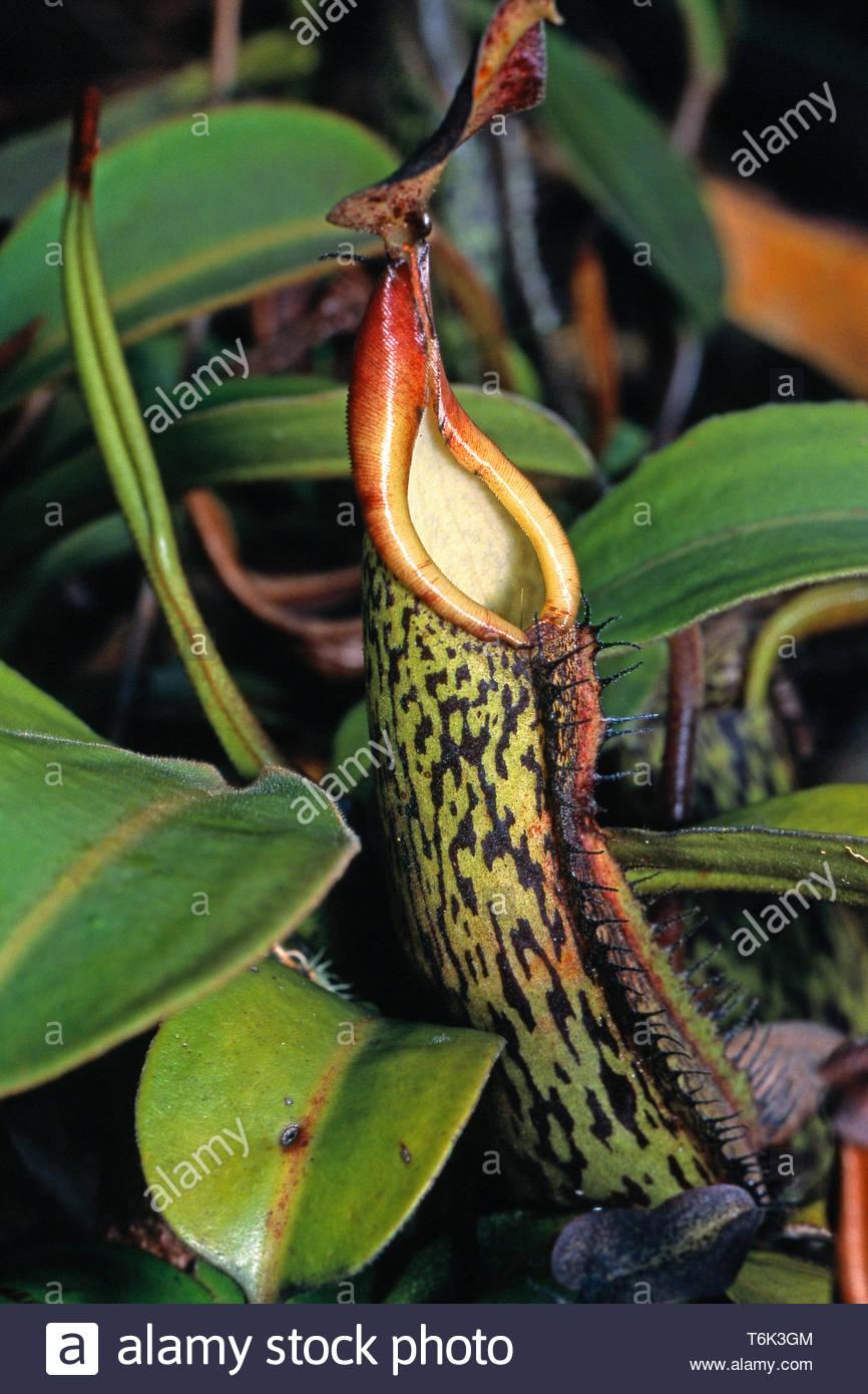 Carnivoro tropicale pianta brocca (Nepenthaceae), a foresta pluviale, Borneo, Malaysia Immagini Stock