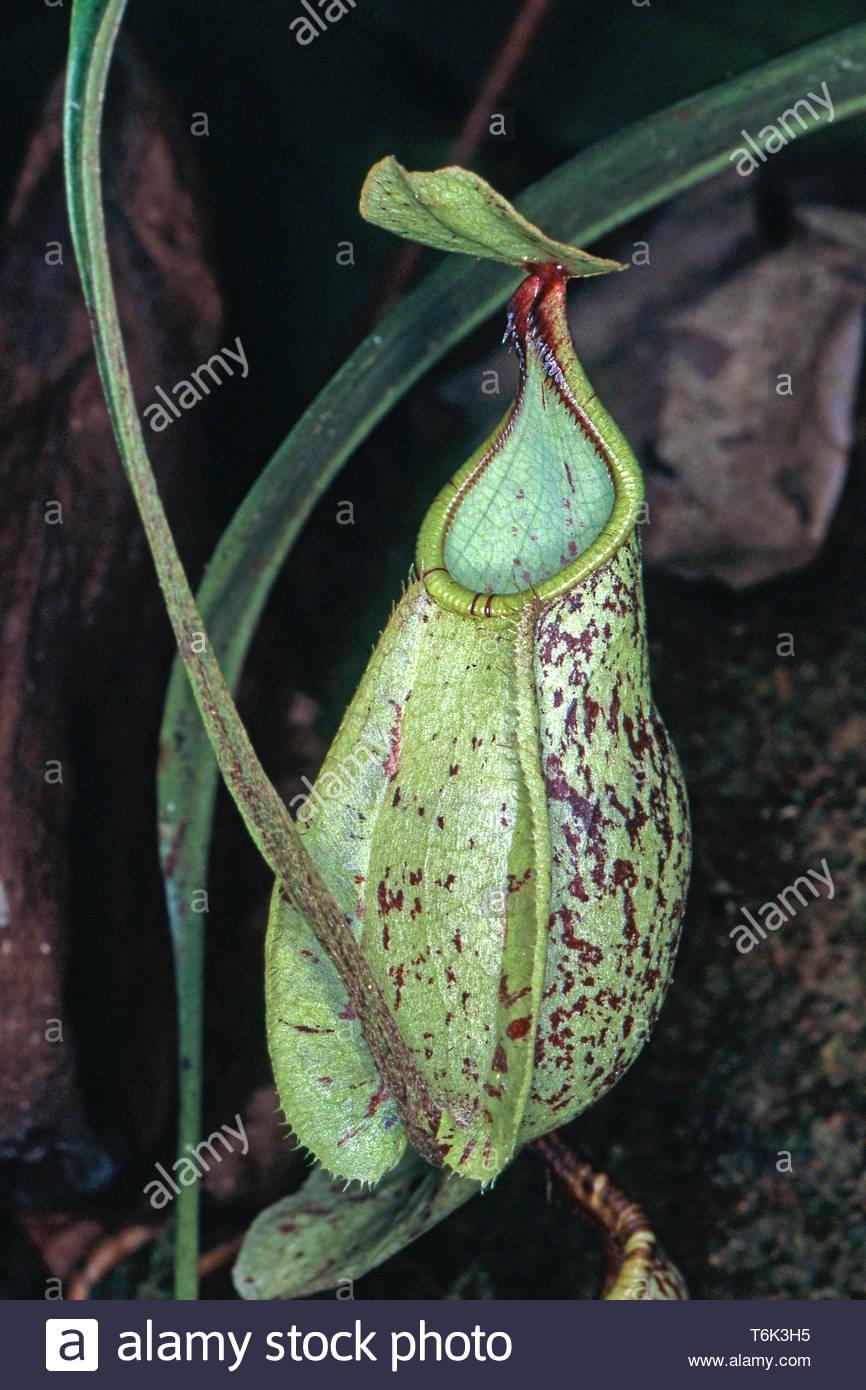 Kannenblatt (Nepenthaceae), fleischfressende tropische Pflanze im Regenwald, Borneo Malesia | Tropical carnivori di pianta brocca (Nepenthaceae), a Immagini Stock