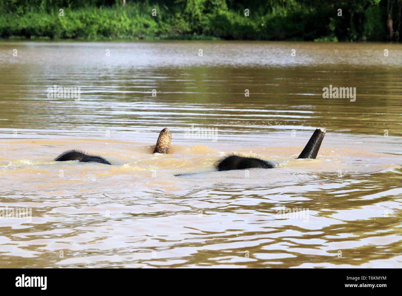 Due Borneo elefanti pigmeo (Elephas maximus borneensis) fare il bagno nel fiume - Borneo Malaysia Asia Immagini Stock