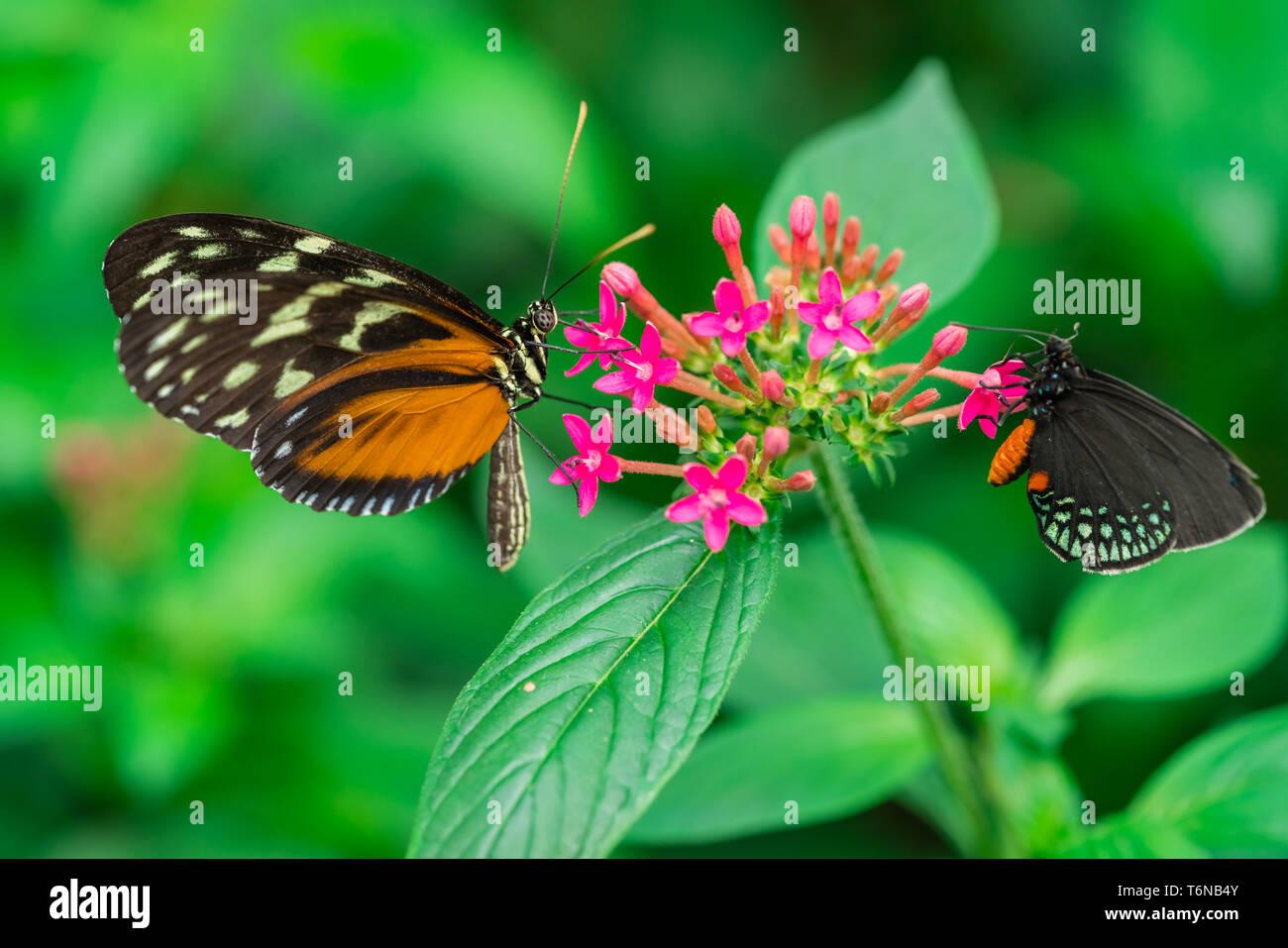 Tiger longwing farfalle Immagini Stock