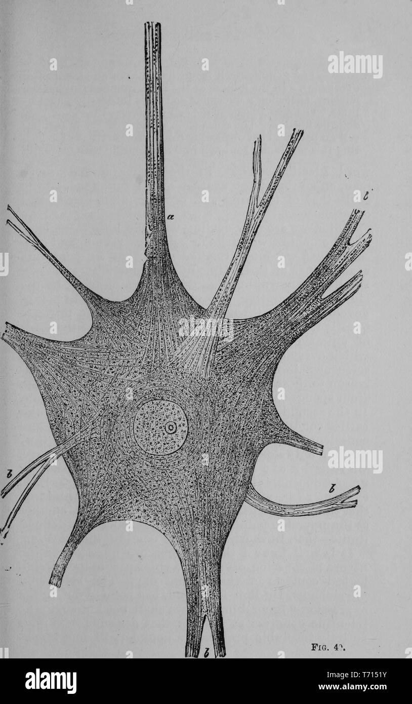 """Il disegno delle cellule gangliari (Suol cella) dal cervello di un pesce elettrico, dal libro """"Il pedigree di uomo' da Ernst Heinrich Philipp August Haeckel, 1903. La cortesia Internet Archive. () Immagini Stock"""