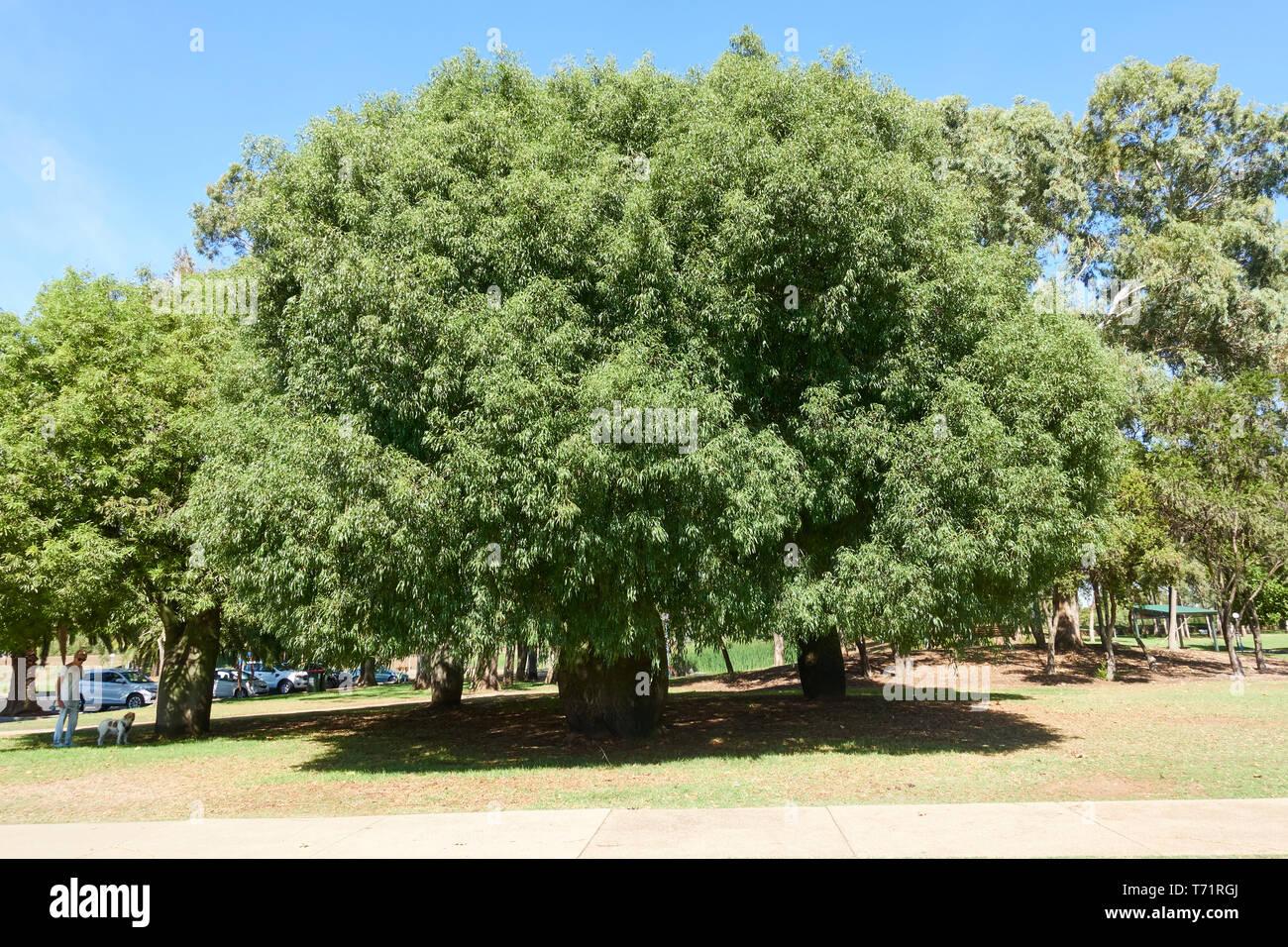 risalente Tamworth NSW