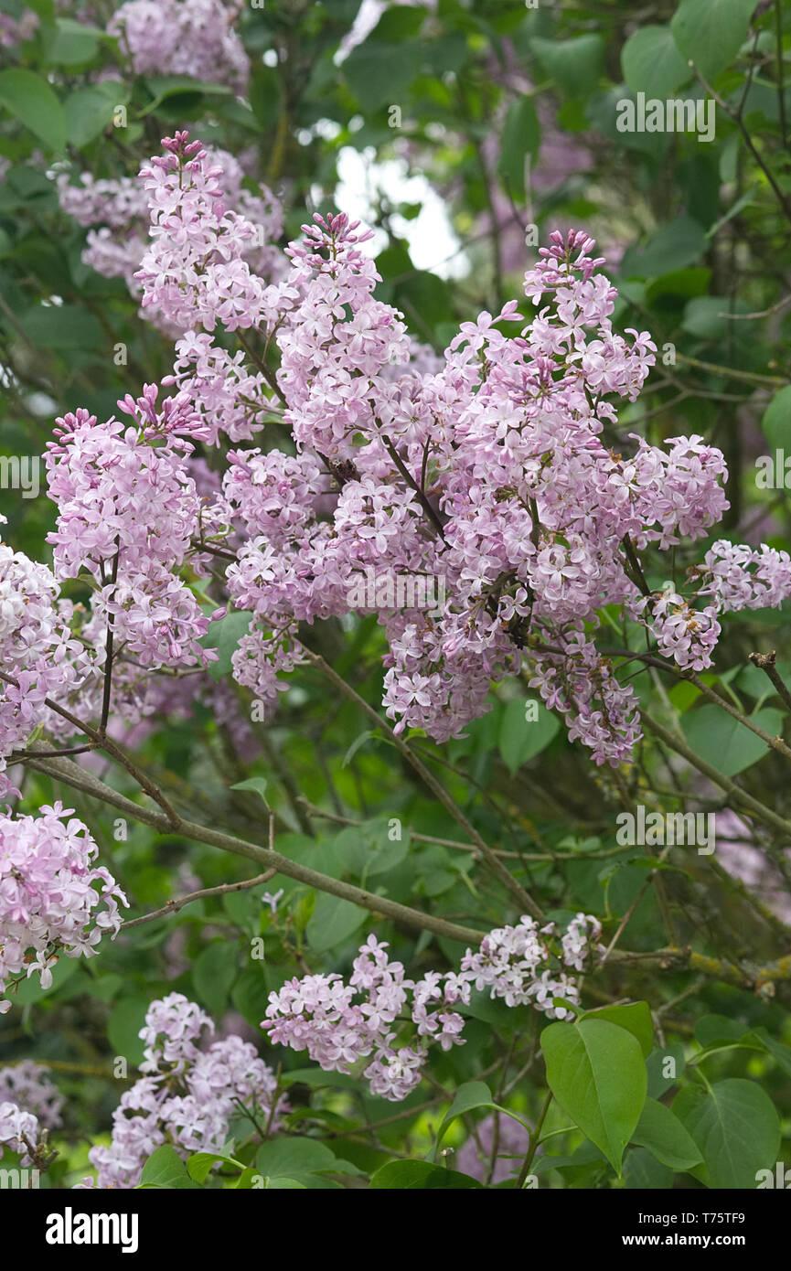 Albero Di Lillà comune albero di lilla foto & immagine stock: 245376749 - alamy
