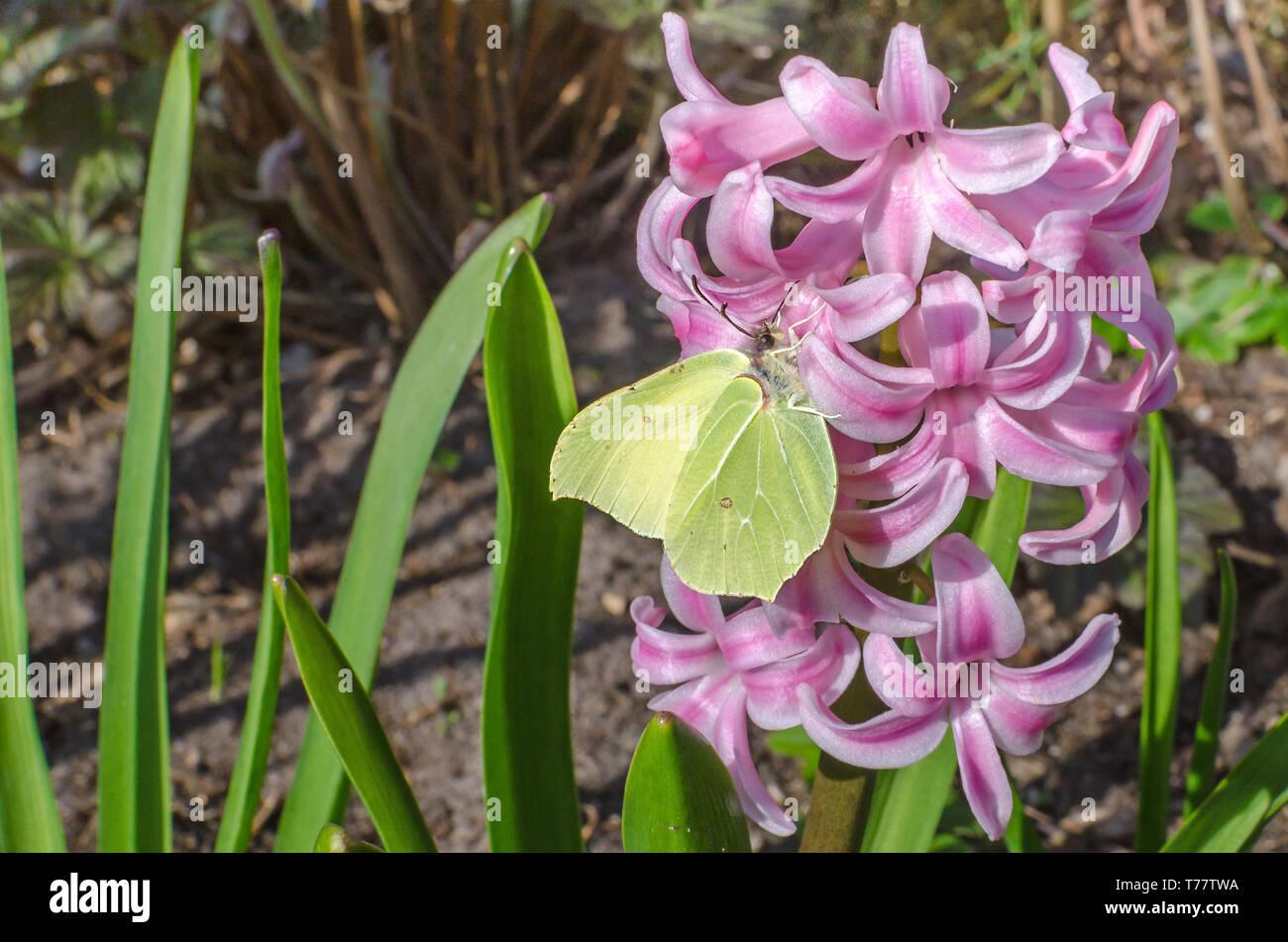 Farfalla di un genere Gonepteryx della famiglia Pieridae comunemente noto come brimstone alimentando il nettare di rosa fiori di giacinto Immagini Stock