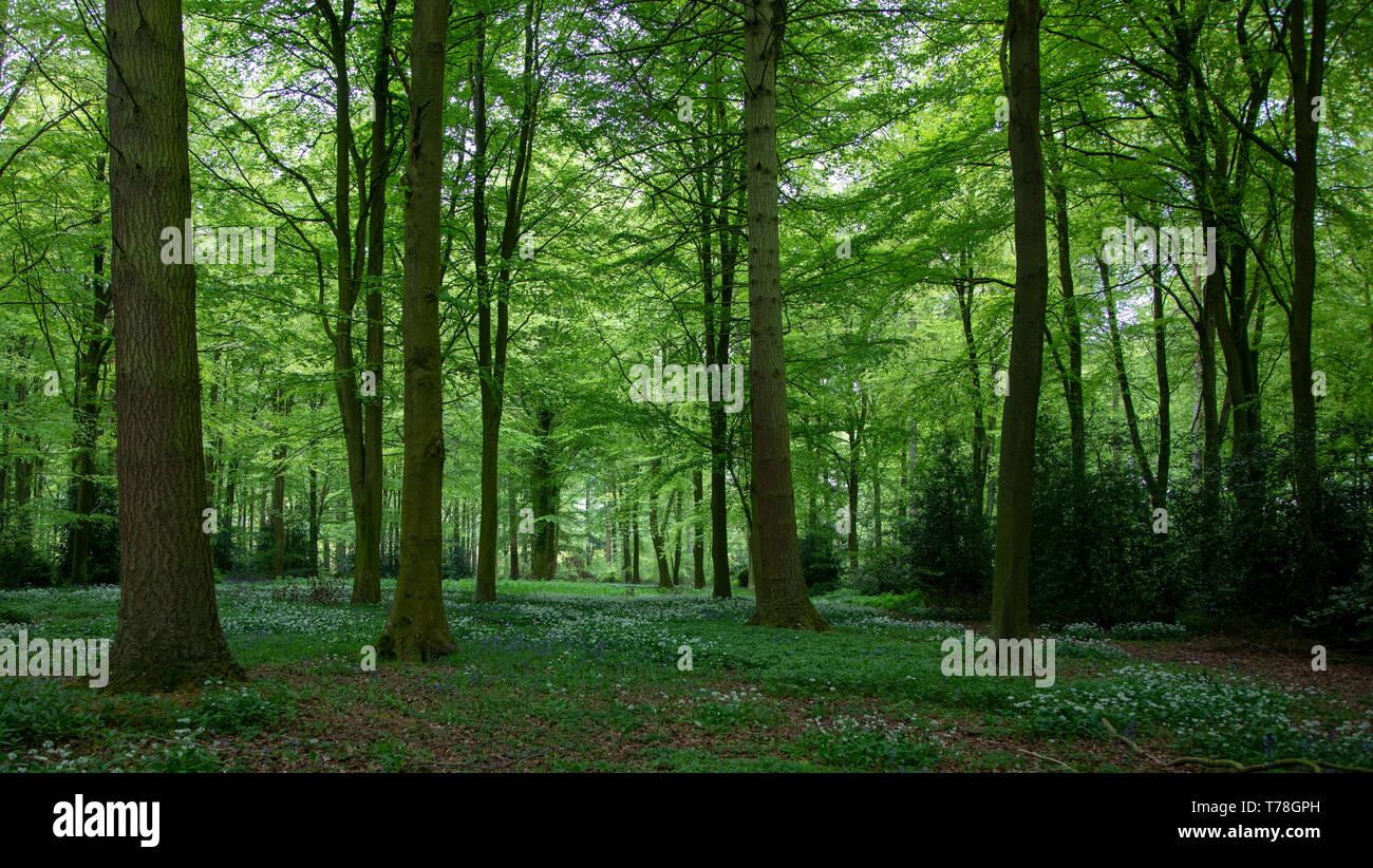 Campagna inglese area boscosa con aglio selvatico e bluebells. Grazioso alto tress con una radura sotto e la morbida luce dal sole l'illuminazione th Foto Stock