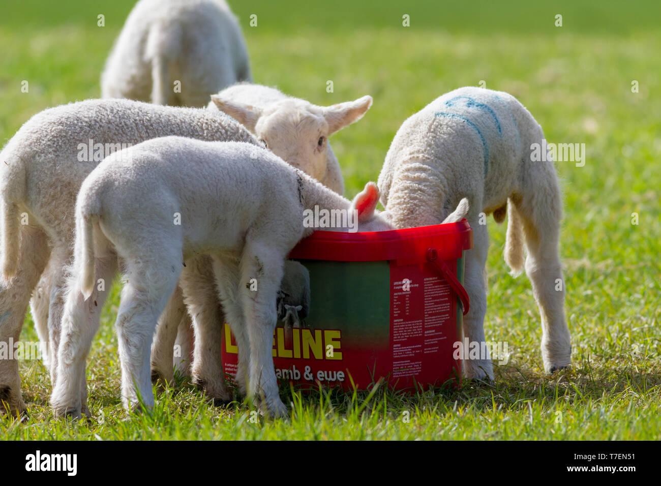 Agnelli mangiare fuori di una benna Rumenco Lifeline Agnello e pecora, REGNO UNITO Immagini Stock