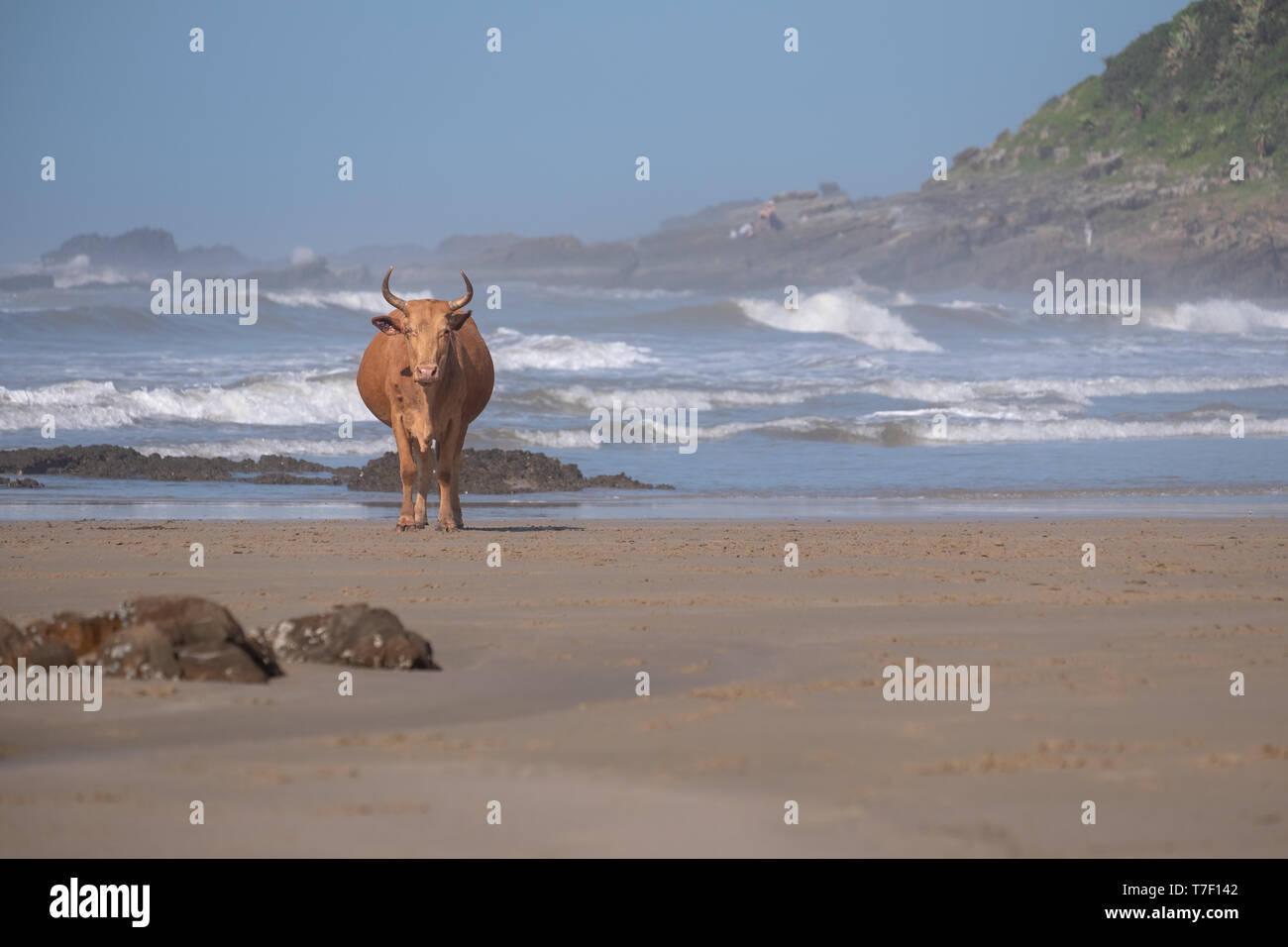 Nguni mucca sulla sabbia a seconda spiaggia, Port St Johns sulla costa selvaggia in Transkei, Sud Africa. Le mucche locali vieni giù in spiaggia per raffreddarsi. Immagini Stock