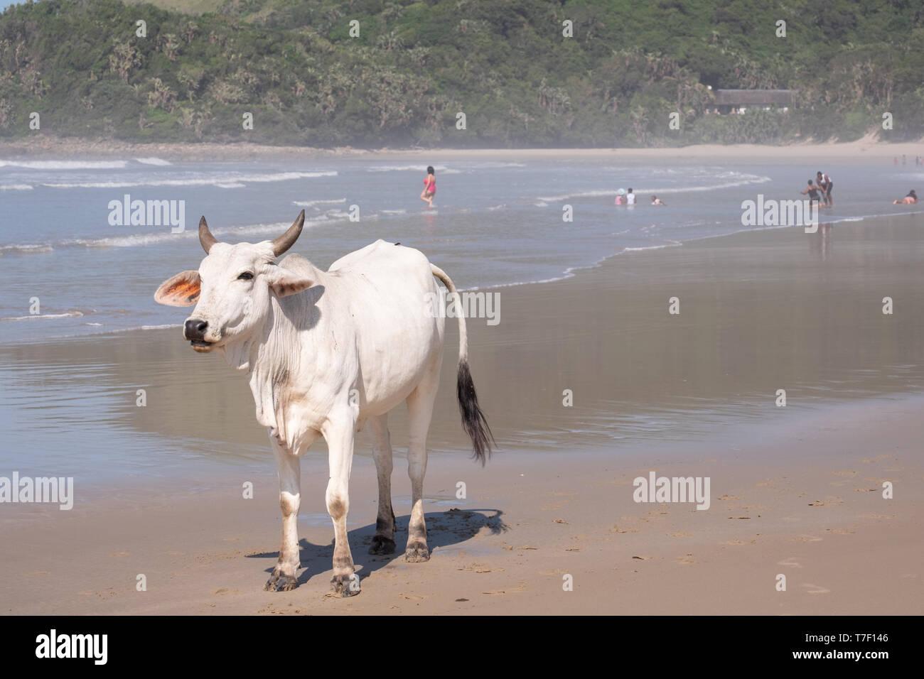 Nguni vacca a seconda spiaggia, Port St Johns sulla costa selvaggia in Transkei, Sud Africa. Persone wim in mare in lontananza. Immagini Stock