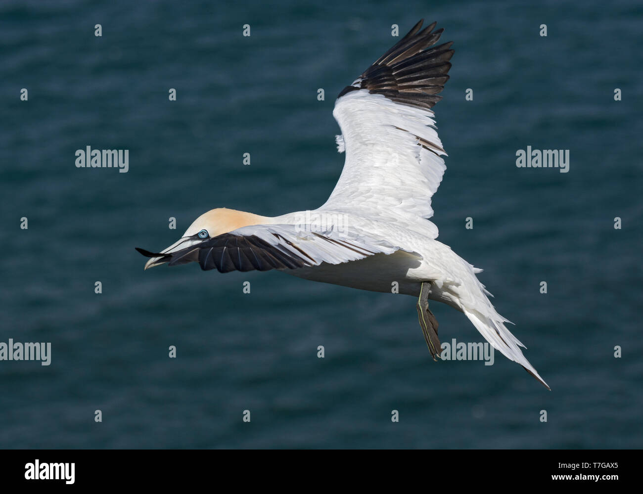 Northern Gannet, Morus bassanus, a Bempton Cliffs, in volo sopra il mare, Regno Unito Foto Stock