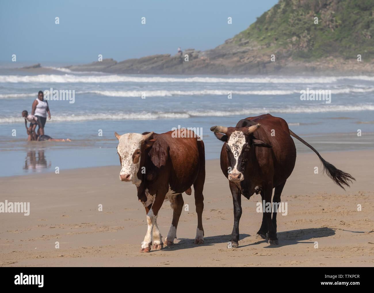 Marrone e bianco Nguni vacche a seconda spiaggia, Port St Johns sulla costa selvaggia in Transkei, Sud Africa. Persone giocare nel mare dietro. Immagini Stock