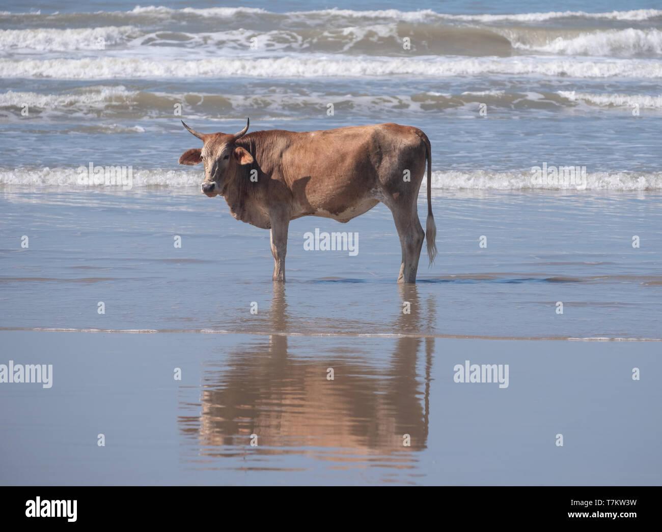 Brown Nguni mucca rappresenta sulla sabbia a seconda spiaggia, Port St Johns sulla costa selvaggia in Transkei, Sud Africa. Immagini Stock