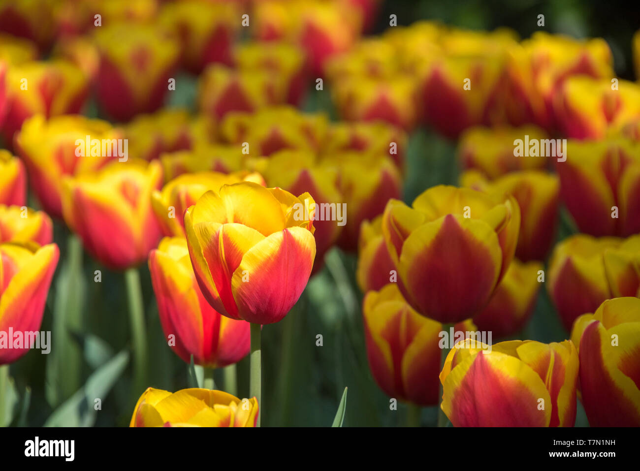 I tulipani in primavera a Keykenhof giardino, Paesi Bassi Immagini Stock