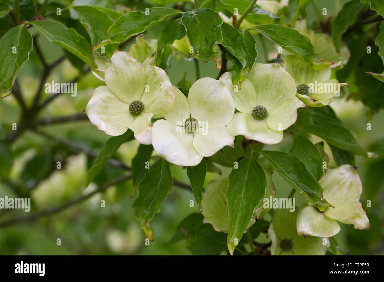 Cornus kousa 'Radiant Rose' Fiori. Immagini Stock