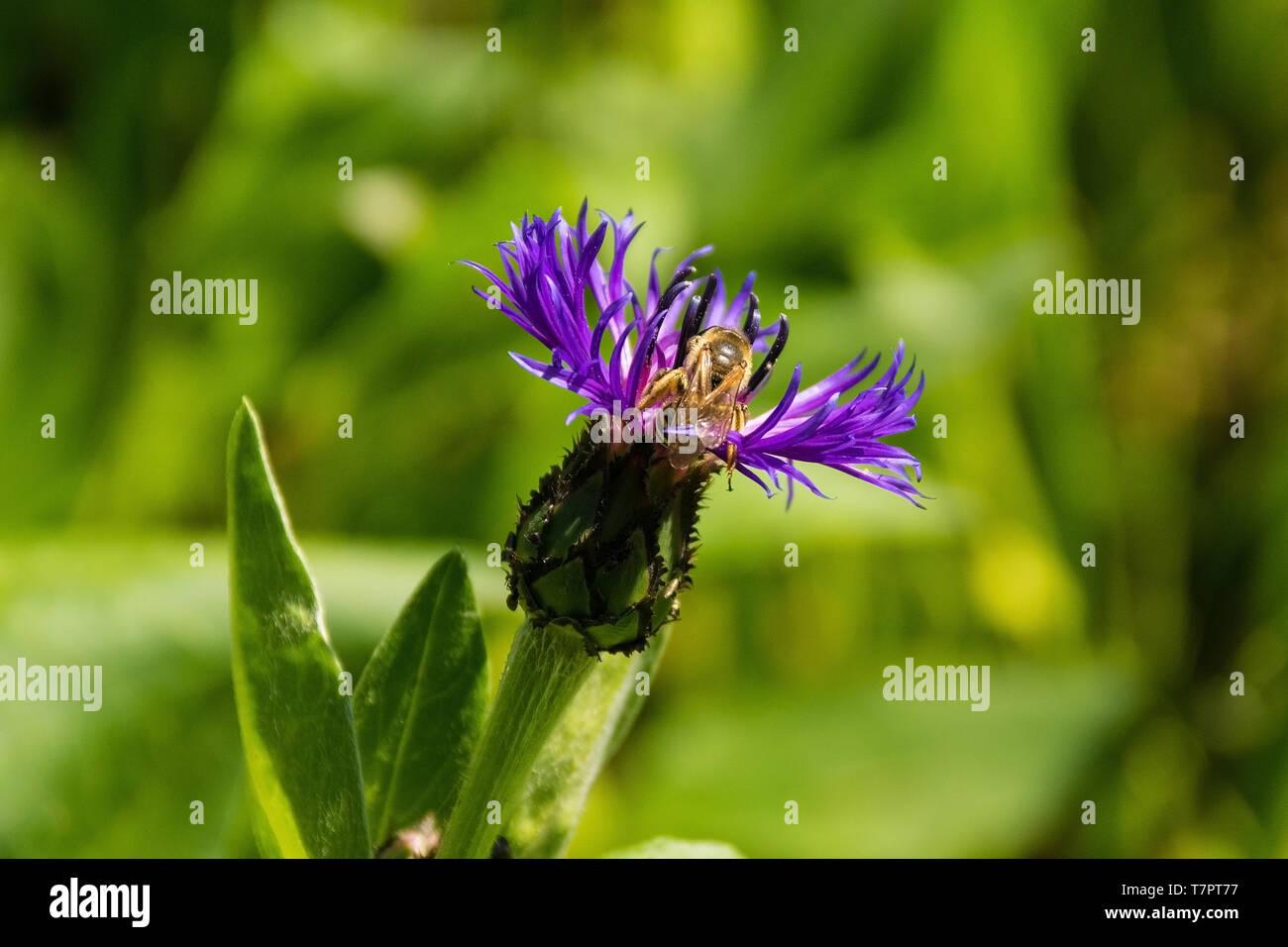 Un Centaurea Montana fiore con un'ape, noto anche come perenne fiordaliso, mountain fiordaliso, laurea pulsante, fiordaliso montane e montagna bluet Immagini Stock